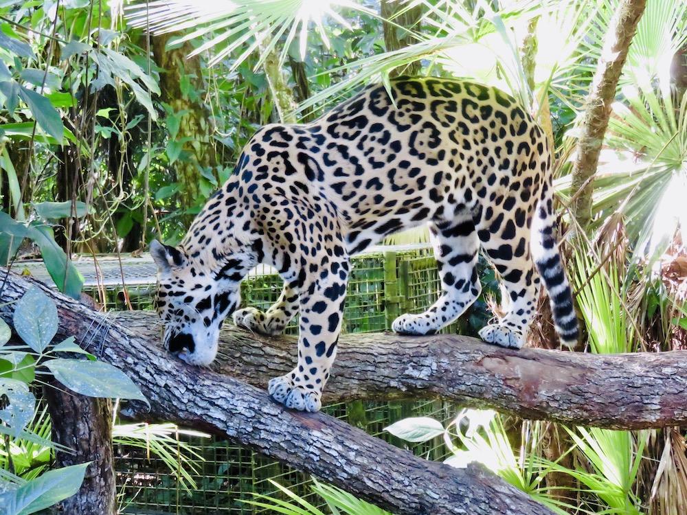 Bezienswaardigheden, Belize Zoo Luipaard