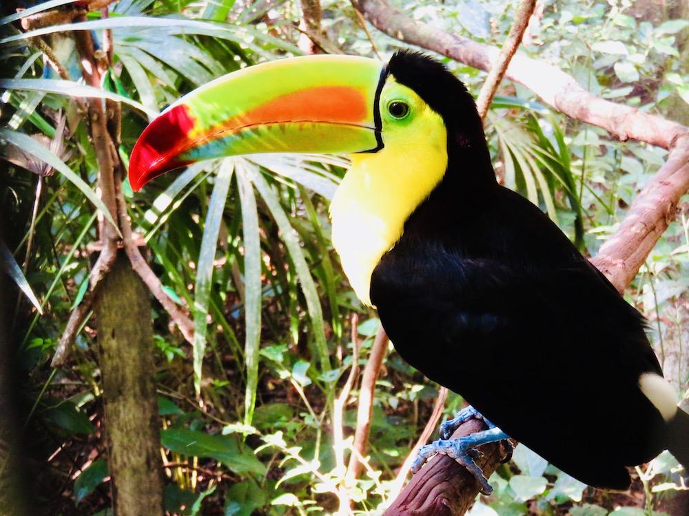 Bezienswaardigheden, Belize Zoo Toekan