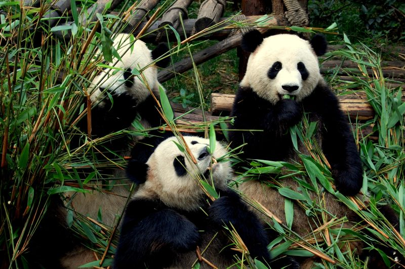 China panda Chengdu