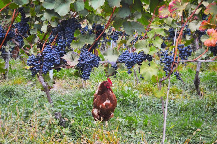 zuid-tirol italie wijnregio