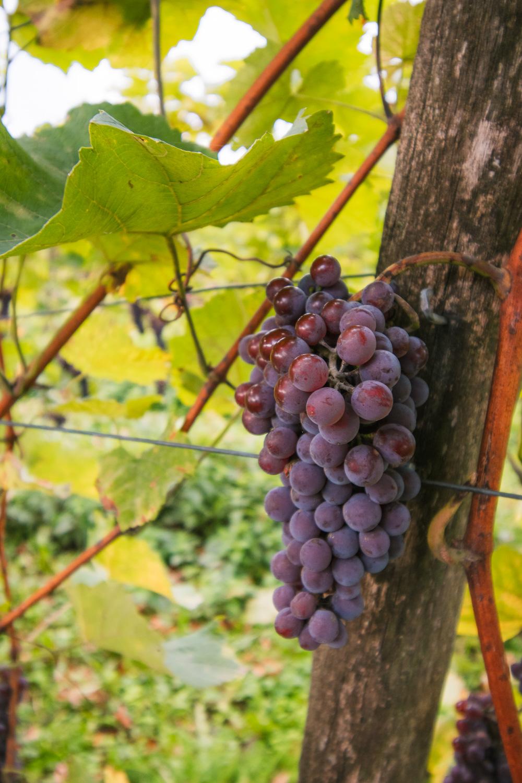 Achterhoek wijngaard druiventros