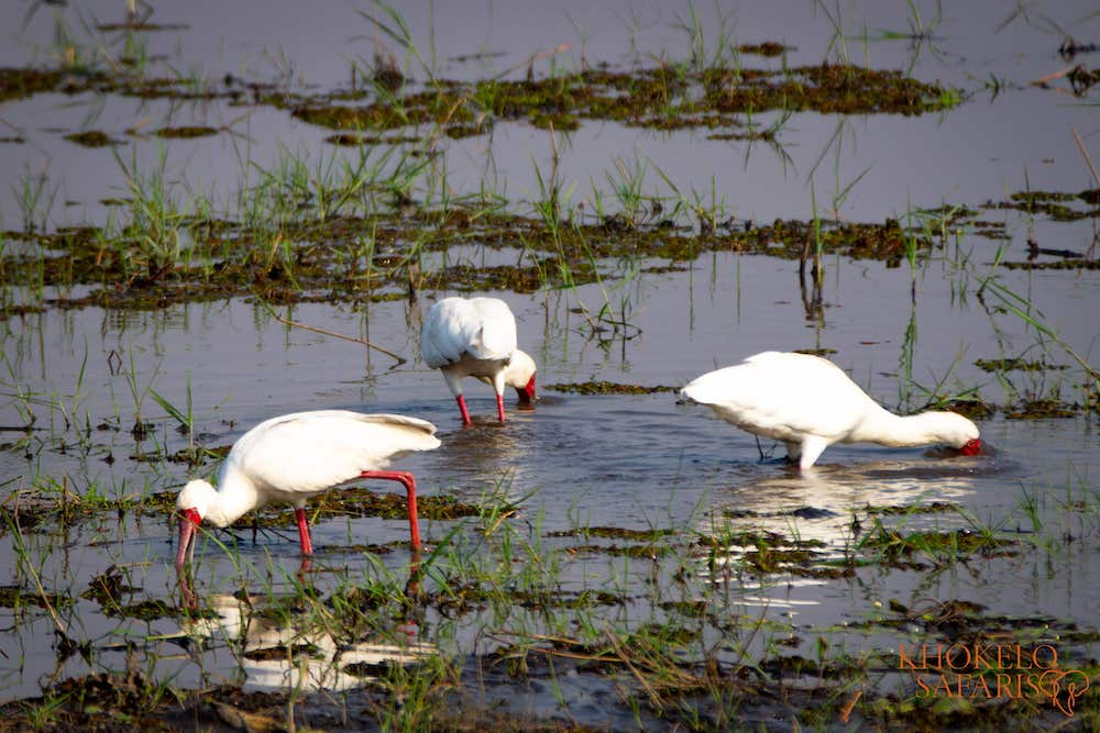 African Spoonbill in Chobe National Park