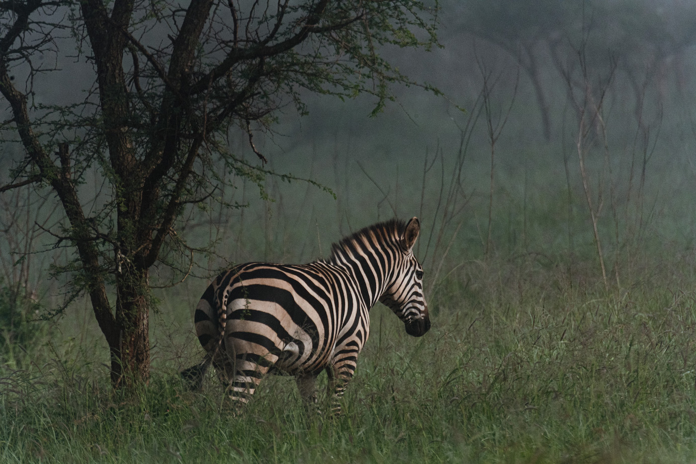 Akagera National Park Rwanda zebra