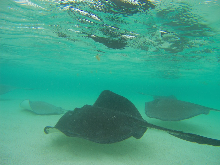 Antigua en barbuda stingrays onderwater
