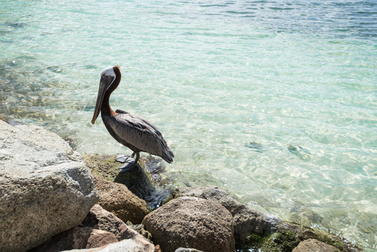 Aruba pelikanen vogels tips