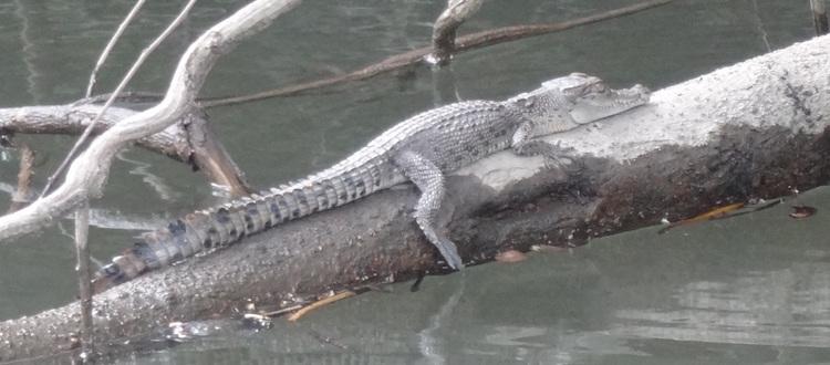 Australische dieren krokodillen