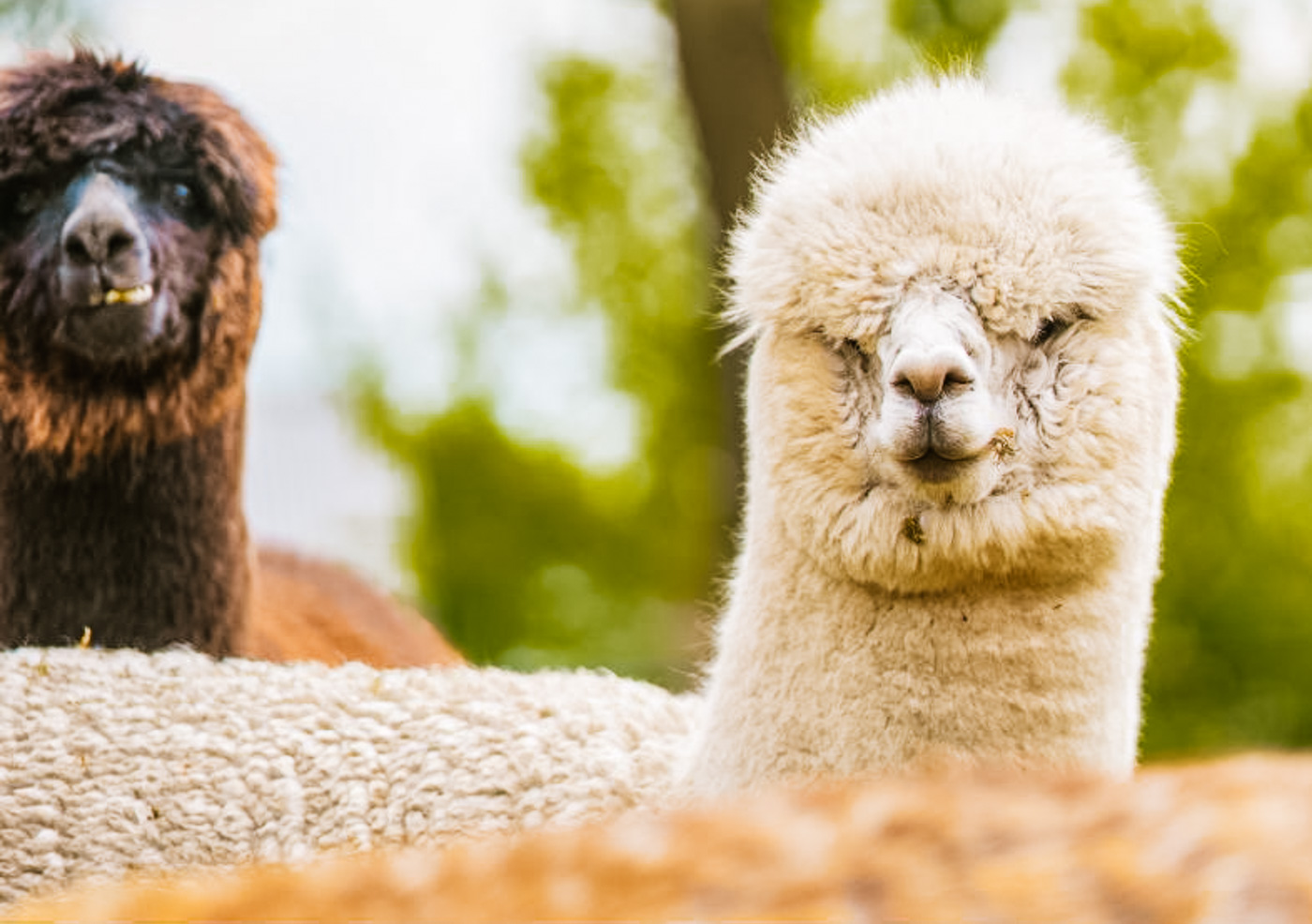 B&B Drenthe met alpaca's