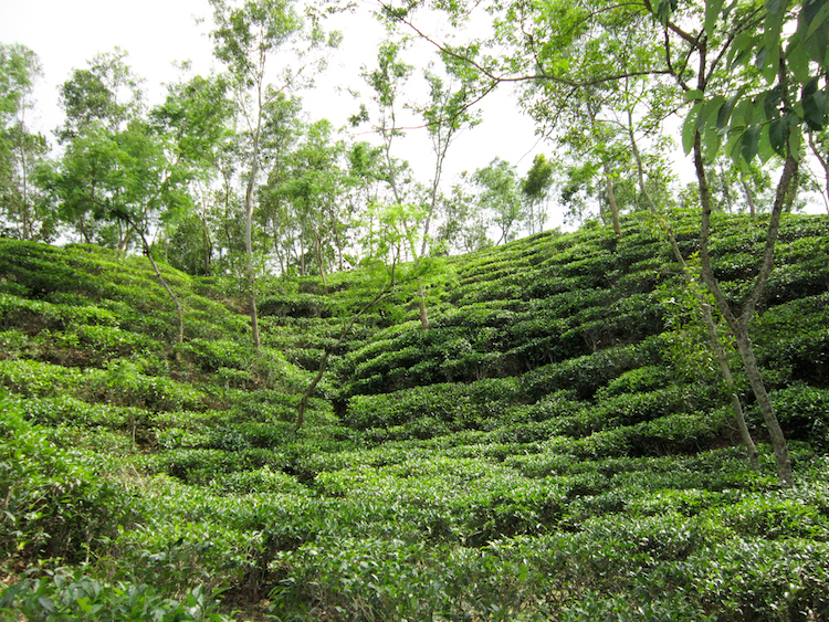 Backpacken Bangladesh theeplantages