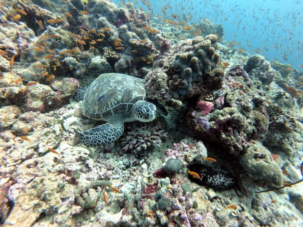 Backpacken Malediven Schildpad bij Rahsdoo