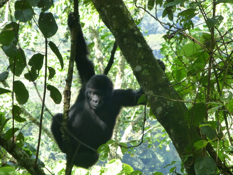 Backpacken Oeganda berggorilla's