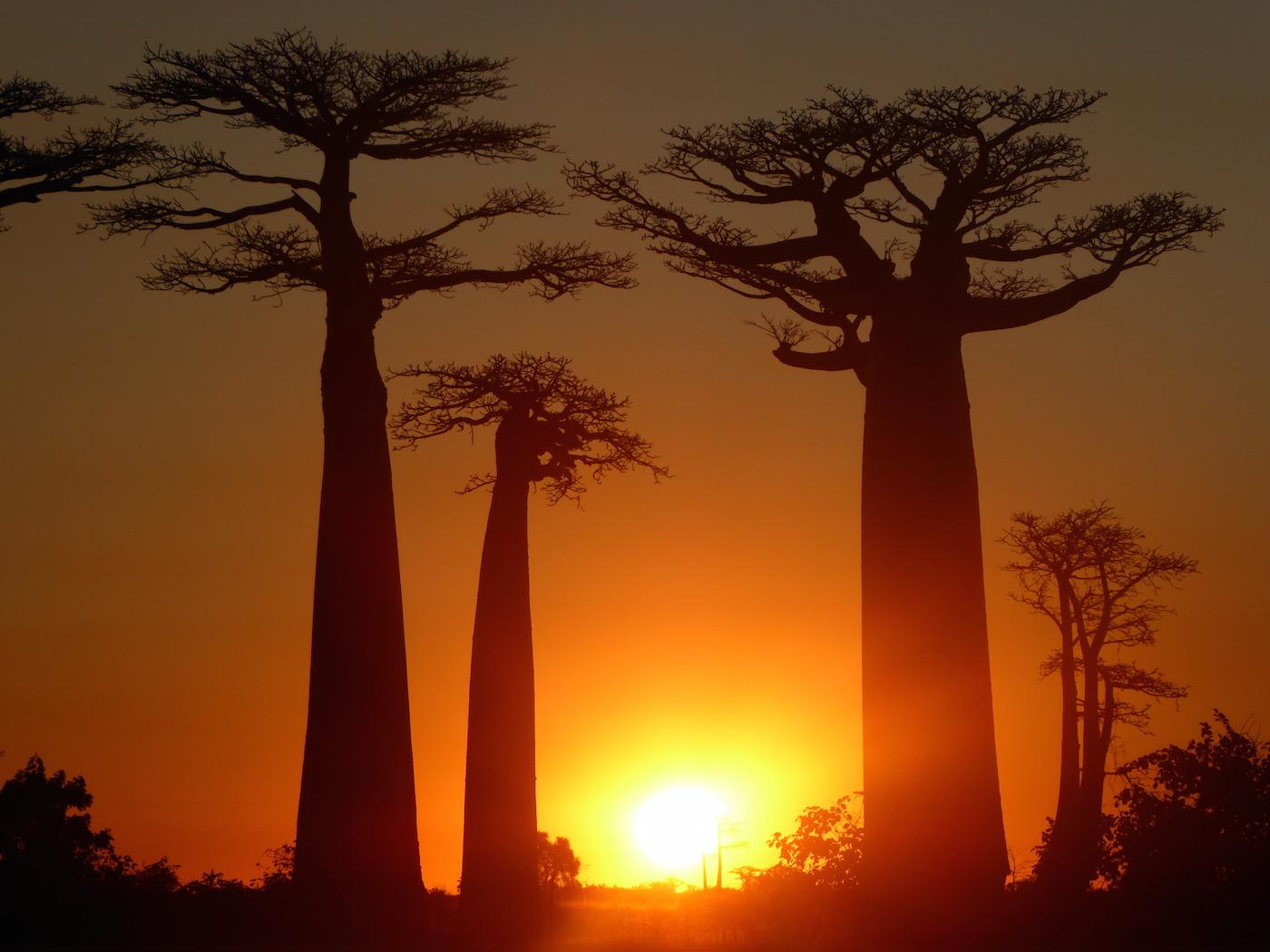 Backpacken in Madagascar de baobab bomen