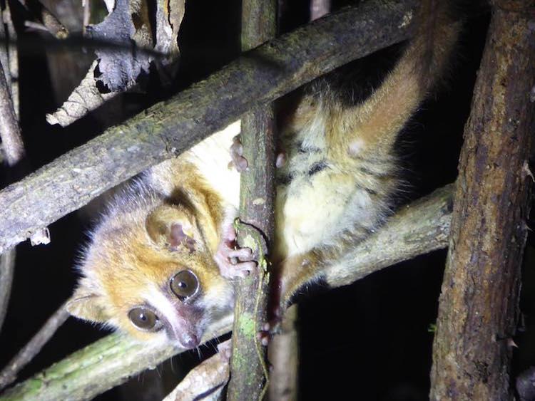 Backpacken madagascar mouse lemur