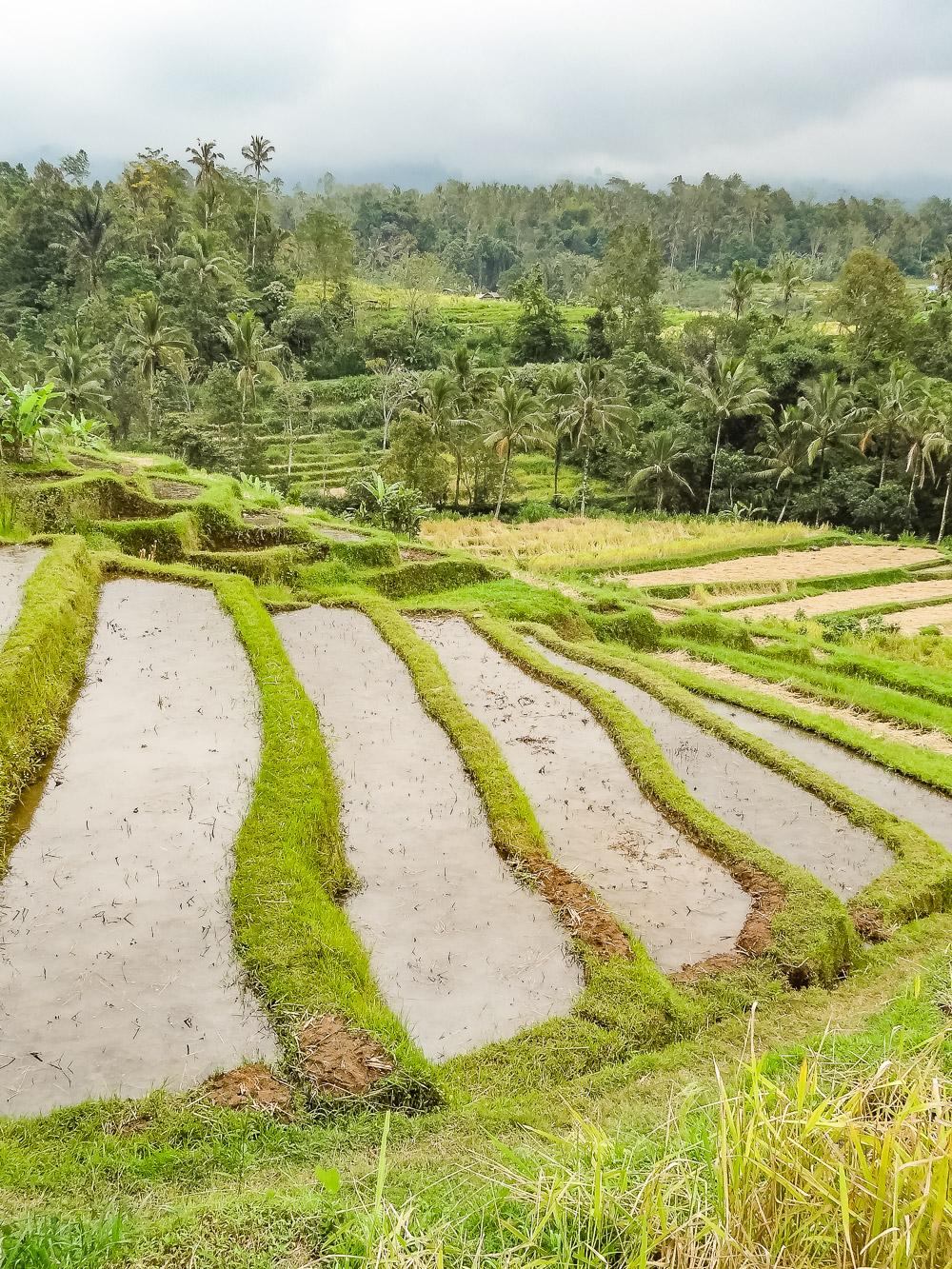 Bali Bezienswaardigheden rijstvelden