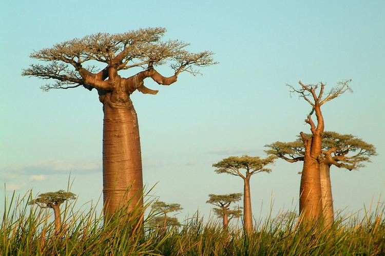 Baobab bomen madagascar