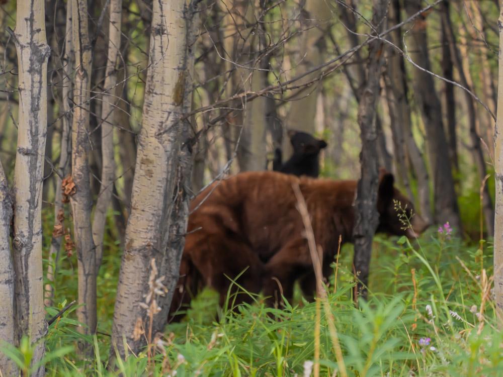 Beren Canada spotten