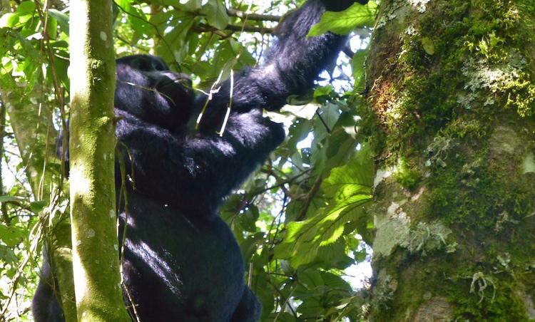 Berggorilla's bezoeken oeganda