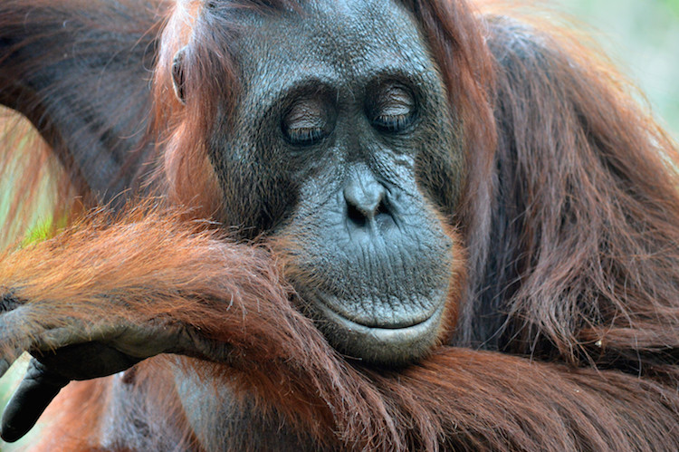 Borneo Orang-Oetan Jungle_1