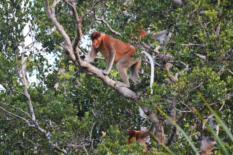 Borneo dieren_neusaap