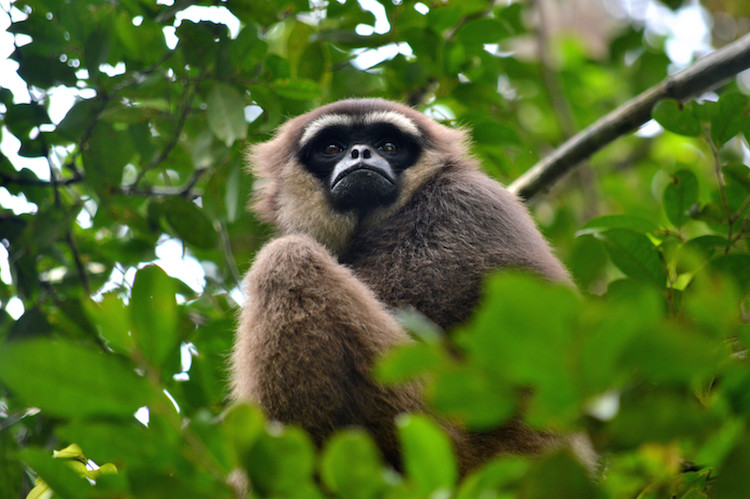 Borneo jungle dieren_gibbon
