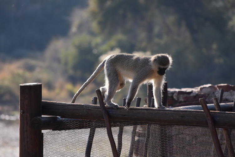 Botswana apen