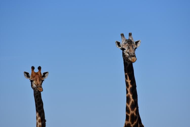 Botswana giraffen