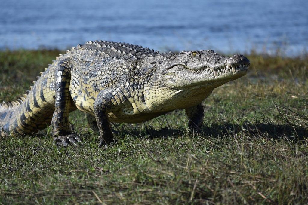 Botswana krokodillen
