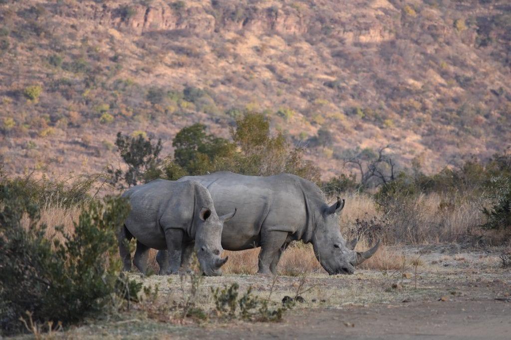 Botswana neushoorns spotten backpack reis