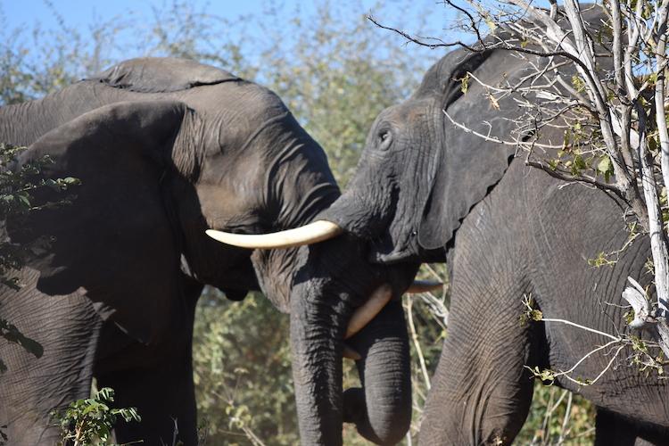 Botswana olifanten gevecht