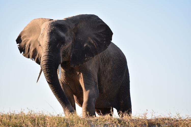 Botswana olifanten kijken close up foto