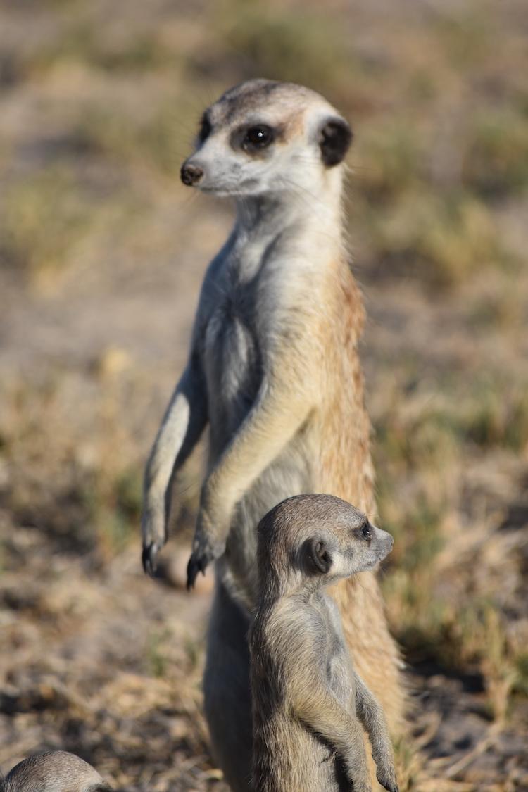 Botswana stokstaartjes