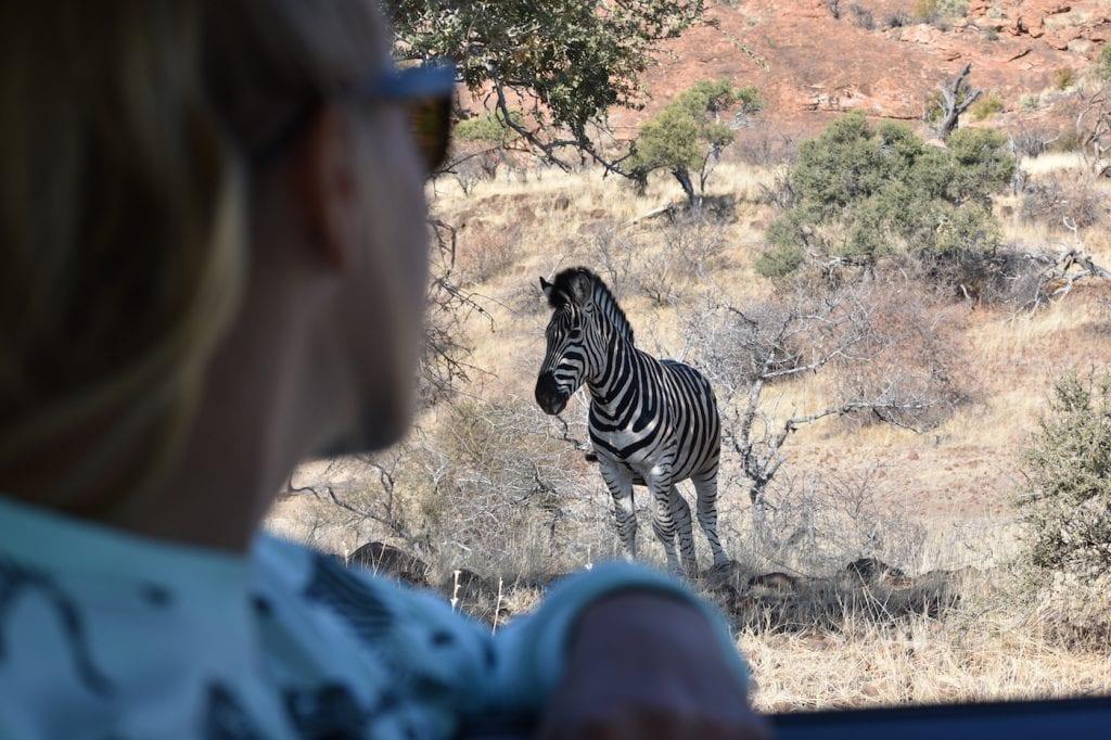 Botswana zebra vanuit auto
