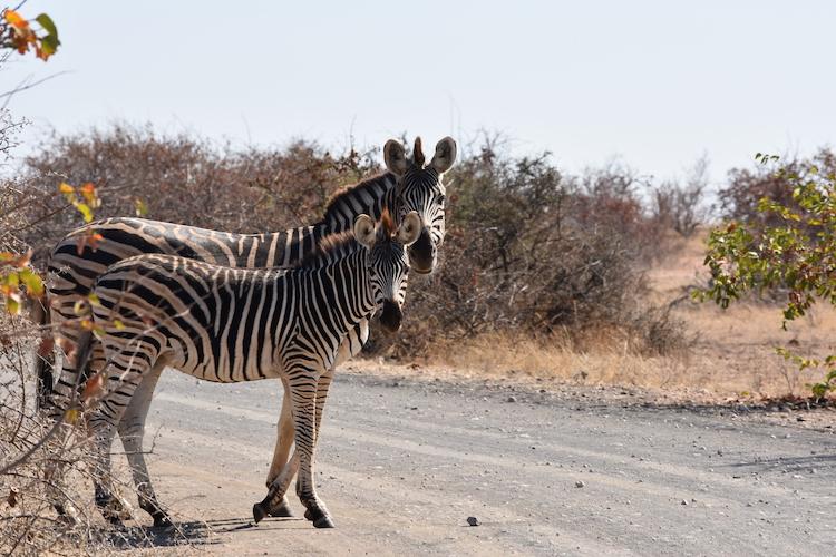 Botswana zebra's