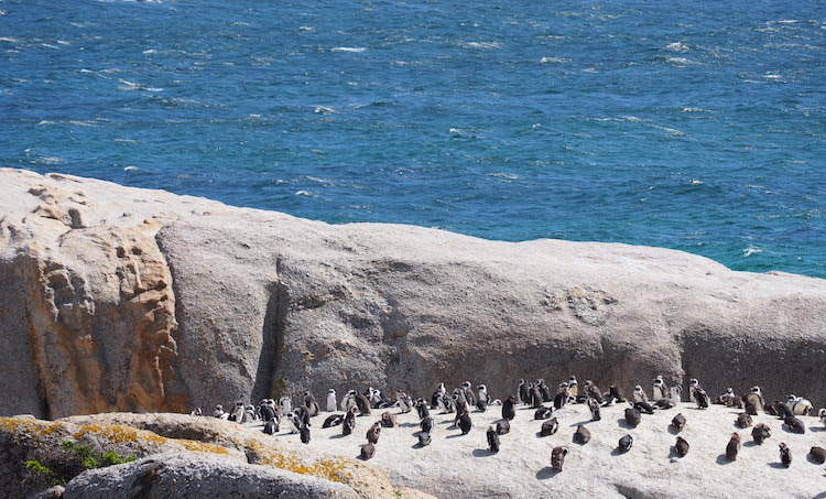 Boulders Beach Zuid Afrika penguins
