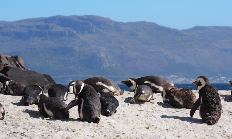 Boulders beach Zuid Afrika