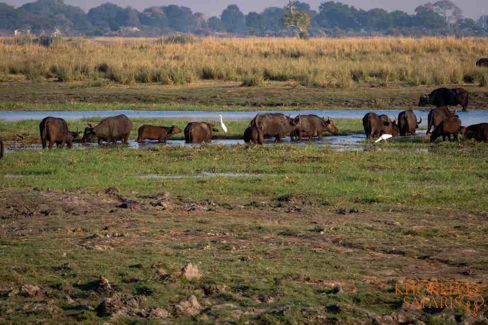 Buffalo in Chobe Botswana