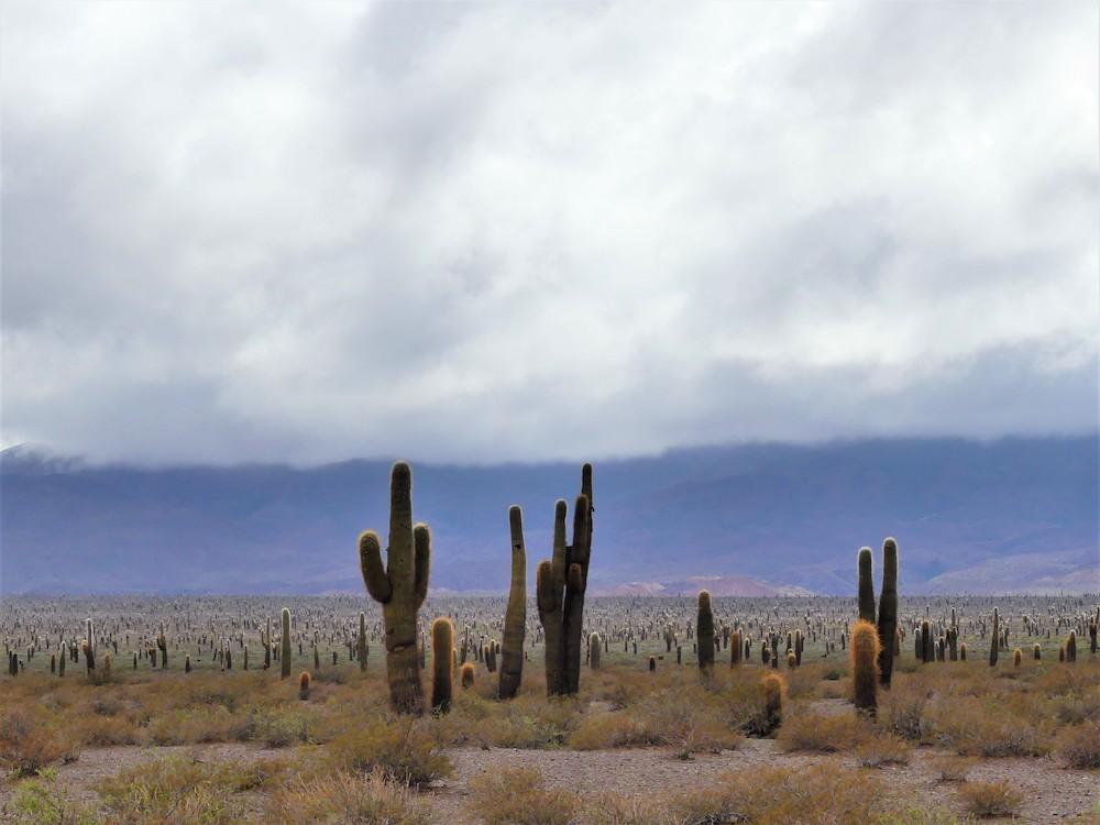 Cactus in Argentinië