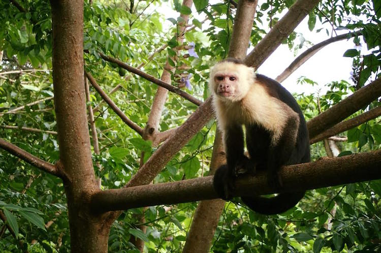 Capuchin monkey in costa rica jungle