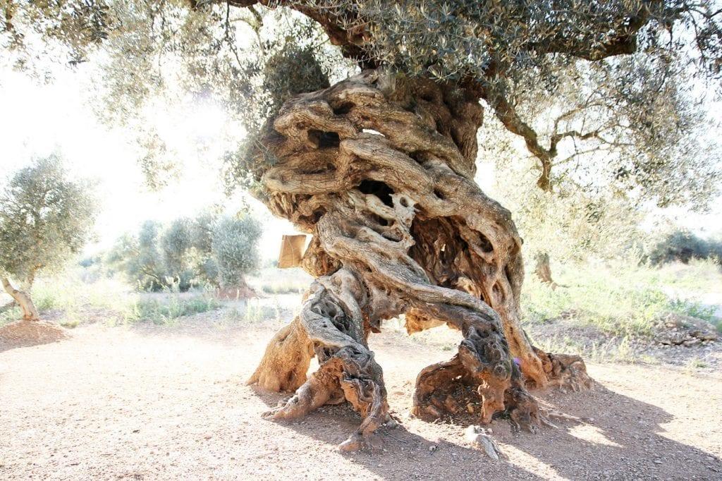 Castellon Spanje Millenial olive trees tips