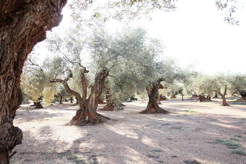 Castellon Spanje tips Millenial-olive-trees-veld
