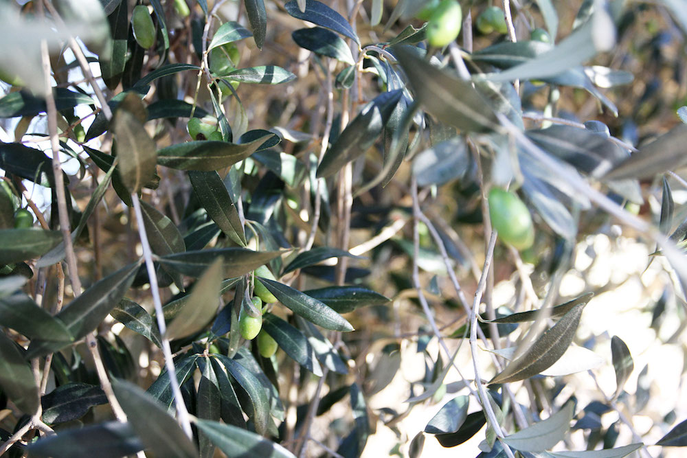 Castellon Spanje tips Millenial-olive-trees