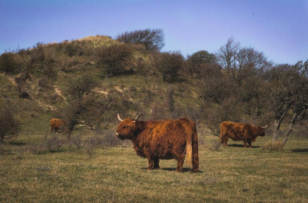 Schotse Hooglanders in het Noordhollands Duinreservaat