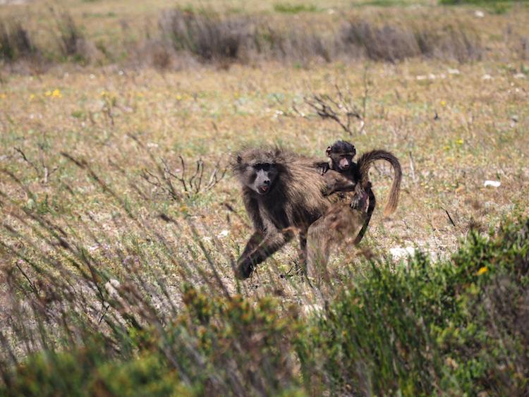 De Hoop bavianen zuid-afrika