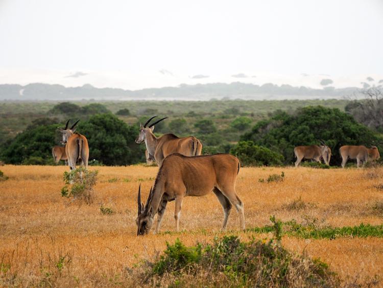De Hoop Bontebok Zuid Afrika