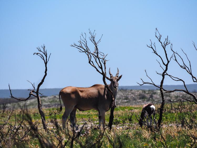 De hoop eland zuid-afrika