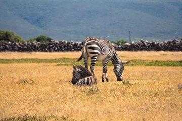 De hoop zebra zuid-afrika