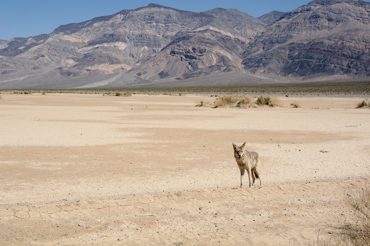 Death Valley - Coyote