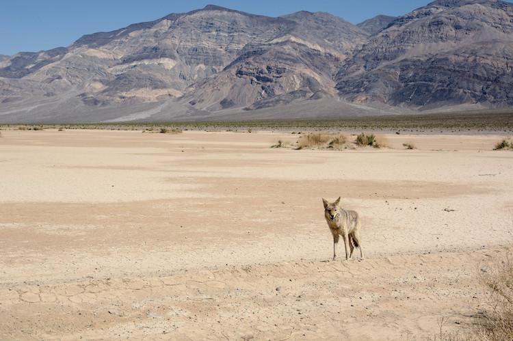 Death Valley - Coyote