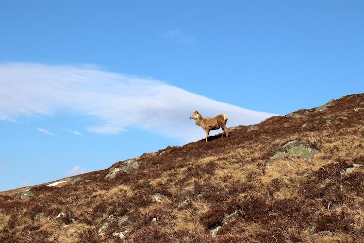 Dieren Schotland Cairngorms