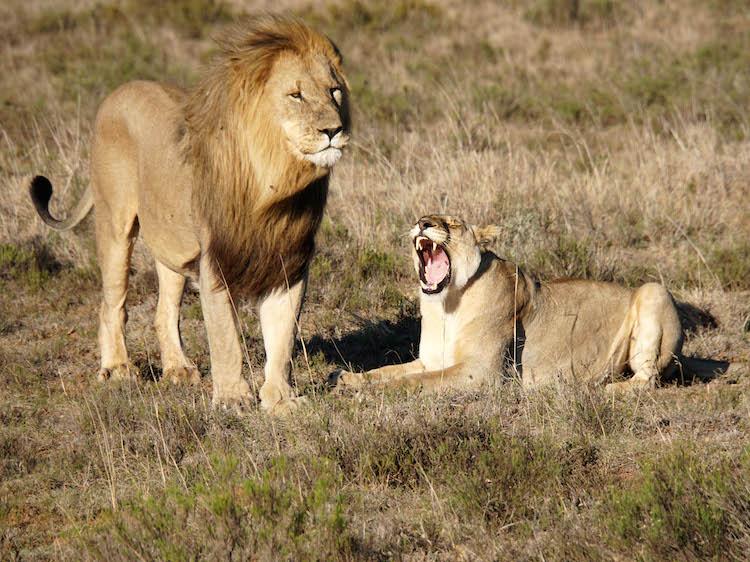 Dieren excursies leeuwen