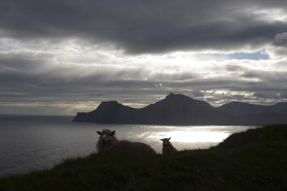 Doen op de faroer eilanden schapen